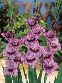 Gladiolus Redinha - Bulk