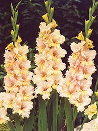 Gladiolus Sacramento Ruffle - Bulk