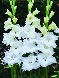 Gladiolus Tarantella - Pack of 5