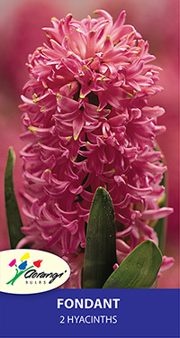 Hyacinth Fondant - Pack of 2