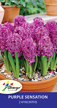 Hyacinth Purple Sensation - Pack of 2