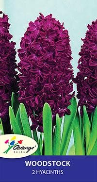 Hyacinth Woodstock - Pack of 2
