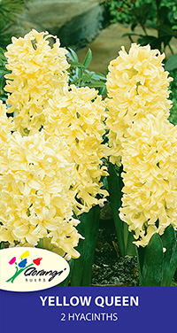 Hyacinth Yellow Queen - Pack of 2