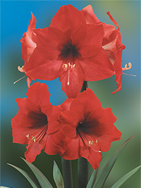 Hippeastrum Donau, pack of 1
