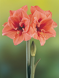 Hippeastrum Desert Dawn, pack of 1