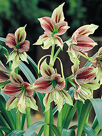 Hippeastrum Papillio, pack of 1