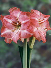 Hippeastrum Summer Time, pack of 1