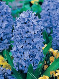 Hyacinth Delfts Blue