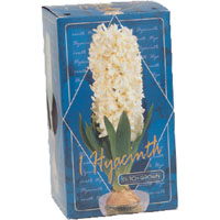 Hyacinth Glass Box - 1 Box