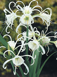 Hymenocallis Advance, pack of 1