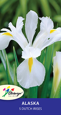 Dutch Iris Alaska - Pack of 5