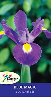 Dutch Iris Blue Magic - Pack of 5
