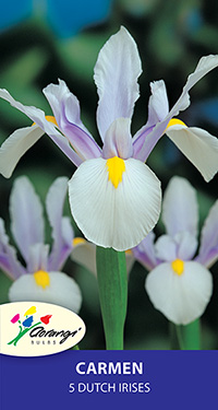 Dutch Iris Carmen, pack of 5