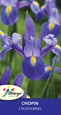 Dutch Iris Chopin, pack of 5