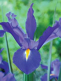Dutch Iris Discovery