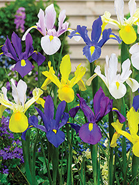 Dutch Iris Mixed
