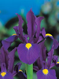 Dutch Iris Valentine