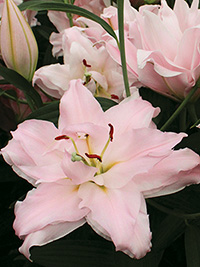Double Oriental Lily Amistad, pack of 1
