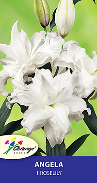 Roselily Angela - Pack of 1