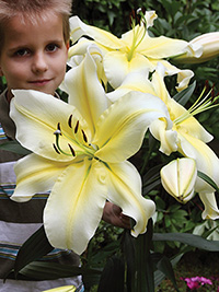 OT Hybrid Lily Big Brother