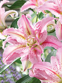 Double Oriental Lily Broken Heart