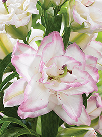 Double Oriental Lily Beauty Trend