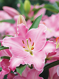 Oriental Lily Canaletto, pack of 1