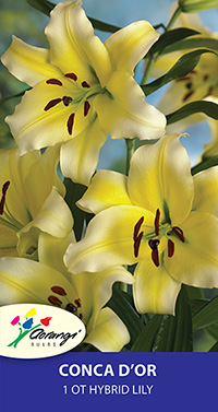 OT Hybrid Lily Conca D'or- Pack of 1
