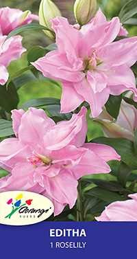 Roselily Editha - Pack of 1