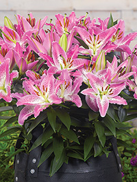 Patio Oriental Lily Entertainer