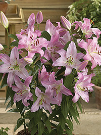 Patio Oriental Lily Farolito, pack of 1