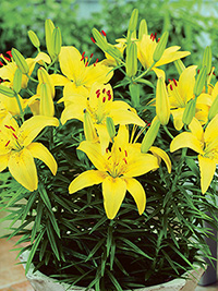 Patio Asiatic Lily Golden Matrix