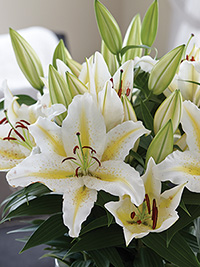 Patio Oriental Lily Golden Romance, pack of 1
