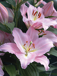 Oriental Lily Je t'aime, pack of 1
