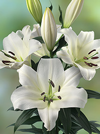 OT Hybrid Lily Lowland, pack of 1