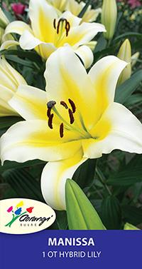 OT Hybrid Lily Manissa - Pack of 1