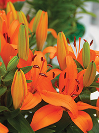 Patio Asiatic Lily Orange Matrix, pack of 1