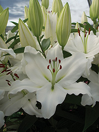 Oriental Lily Pacific Ocean, pack of 1