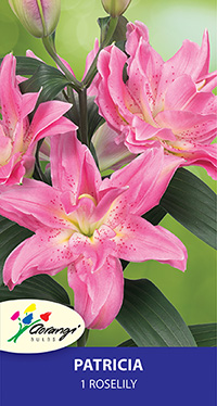 Roselily Patricia - Pack of 1