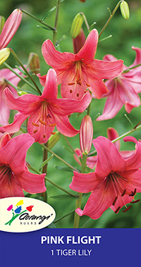 Tiger Lily Pink Flight - Pack of 1