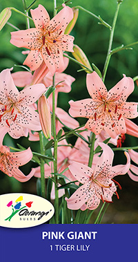 Tiger Lily Pink Giant - Pack of 1
