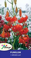Species Lily Pumilum - Pack of 1