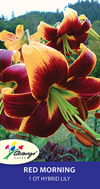 OT Hybrid Lily Red Morning - Pack of 1