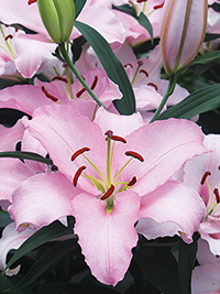 Oriental Lily Rubiano, pack of 1