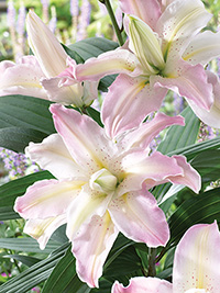 Double Oriental Lily Soft Music