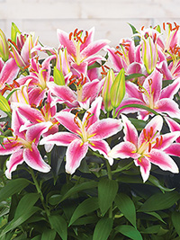 Patio Oriental Lily Starlight Express