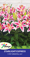 Patio Oriental Lily Starlight Express, pack of 1