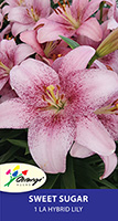 LA Hybrid Lily Sweet Sugar, pack of 1