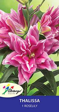 Roselily Thalissa - Pack of 1