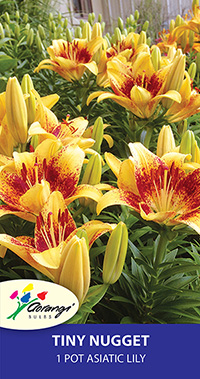 Patio Asiatic Tiny Nugget - Pack of 1
